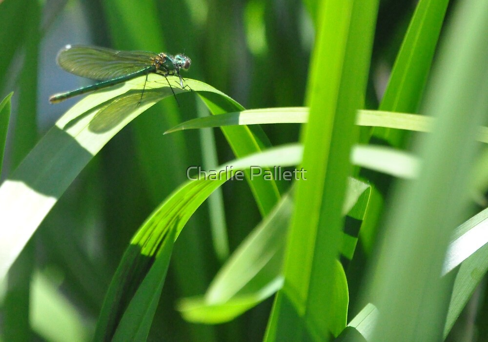 an insect of beauty  by Charlie Pallett