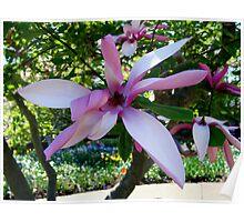 Magnolia Bloom Poster