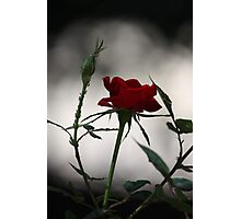 Red Rose 2537 Photographic Print