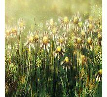 Daisy field Photographic Print