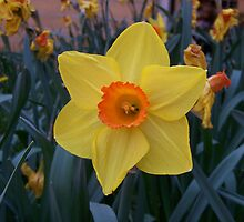 Daffodil Delight by soulexpressions