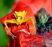 ...yellow spider by Luciano Fortini