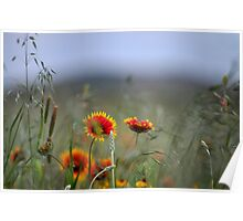 Indian blanket wildflowers at sunset Poster