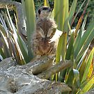 Meerkat 2 by JillyPixie
