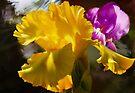 Iris's by Elaine  Manley