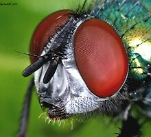 Greenbottle Portrait by Ian Chapman