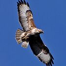 common Buzzard by Russell Couch