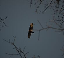 Buzzard Returning To Roost by Malcolm Snook