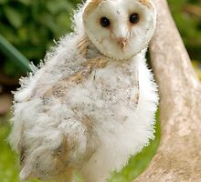 Young Barn Owl chick by Dave  Knowles