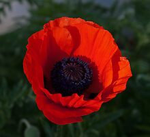 Icelandic Poppy by Colin Harper (12) by Mike Oxley