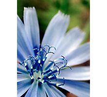 Chicory Flower Photographic Print