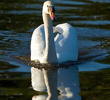 Mute Swan in evening light by Dave  Knowles