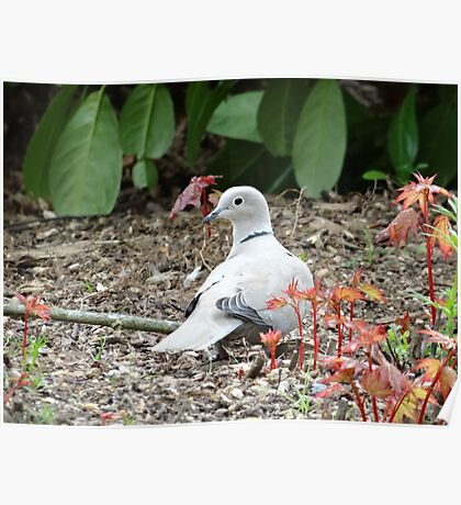 Dove Searching In Foliage Poster
