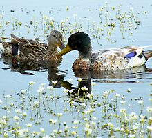Romantic Ducks by Jo Nijenhuis