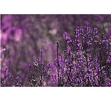 Purple Photographic Print
