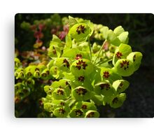 Euphorbia Black Pearl Canvas Print