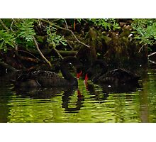 Black Swans Photographic Print