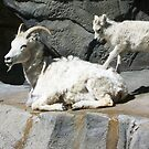 DALL SHEEP by dragonindenver