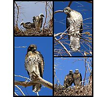 Red-tailed Hawks ~ Babies Collage Photographic Print