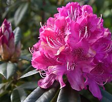 Fuschia Rhododendron by Barb White