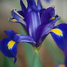 Japanese Iris by Betty Maxey