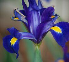 Japanese Iris by Betty Maxey