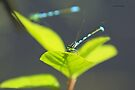 Damselfly by Yannik Hay