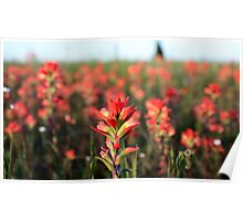 Field of Indian Paintbrush Poster
