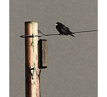 Rook on a wire Photographic Print