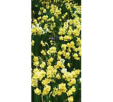 Daffs Delight Photographic Print