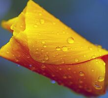 Poppy with Droplets by jayneeldred