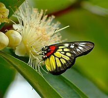 Butterfly Landing in the Lychee Valley by Frank Donnoli