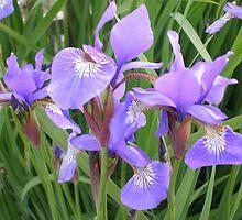 irises - garden view by uncleblack