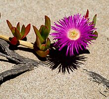 Pigface plant by Dan Bish