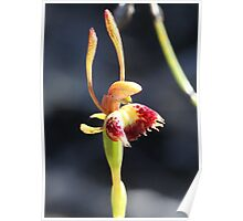 Fringed hare orchid      col var 5 Poster
