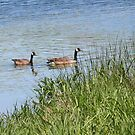 Geese on the Swim by teresa731