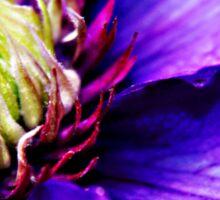 Purple Clematis flower macro Sticker