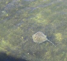 Sting Ray in the Keys by aura2000