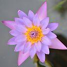 Lotus by Ramesh Subramanian