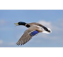 Mallard flight control Photographic Print