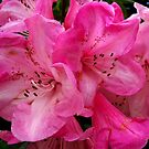 Glorious Rhododendron by hootonles