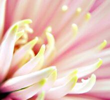 Pink Chrysanthemum flower  Sticker