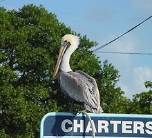 Pelican in the Florida Keys by aura2000