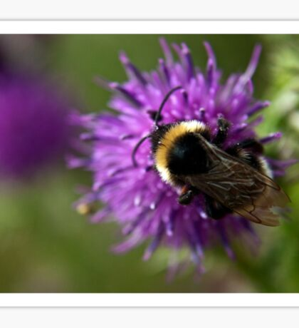 Bumble Bee on a thistle macro Sticker