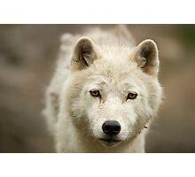 Arctic Stare Photographic Print