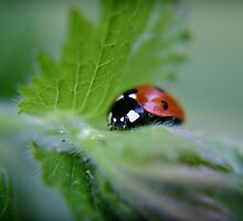 Ladybug on a leaf by Vicki Field