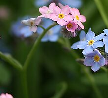 forget-me not, pink or blue by tanmari
