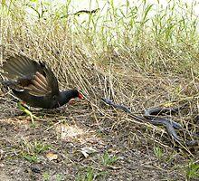 Common Moorhen attacking Snake by Savannah Gibbs