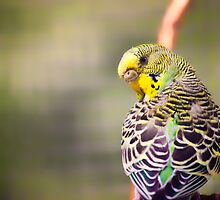 Budgerigar by Vicki Field