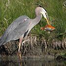 Great Blue Heron Strikes Gold by Gary Fairhead